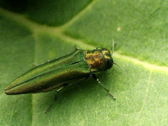 an emerald ash borer sitting on a leaf